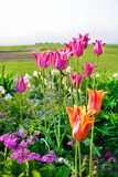 Tulips in spring, colorful tulips Stock Photography