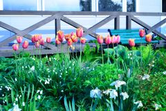 Tulips in spring, colorful tulips Stock Images