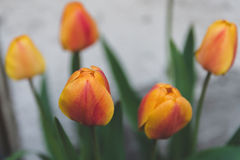 Tulips in spring royalty free stock photo
