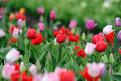 Tulips in spring field Royalty Free Stock Photography
