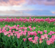 Tulips in spring field Stock Photos