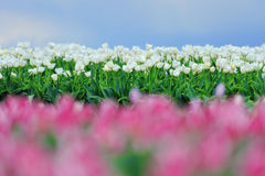 Tulips in spring field Stock Image