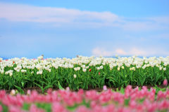 Tulips in spring field Royalty Free Stock Image