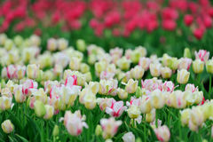 Tulips in spring field Royalty Free Stock Photo