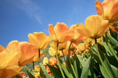 Tulips - spring flower Royalty Free Stock Photography