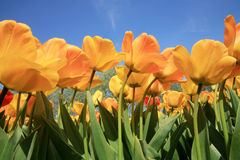 Tulips - spring flower Royalty Free Stock Photos