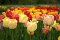 Tulips. Spring flower tulips in botanic garden Royalty Free Stock Photography