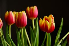 Tulips, Spring Flowers, Blossom Stock Photo