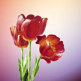 Tulips. Spring flowers invitation Stock Photography