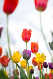 Tulips in the spring garden Stock Image