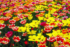 Tulips in spring garden Royalty Free Stock Image