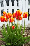Tulips in spring garden Royalty Free Stock Images