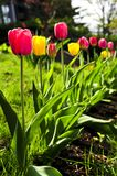 Tulips in spring garden Royalty Free Stock Photography