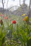 Tulips in the spring garden stock photos