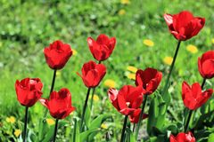 Tulips on the spring lawn surrounded by grass and dandelions royalty free stock photos