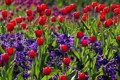 Tulips, Spring, Light, Colorful Royalty Free Stock Image