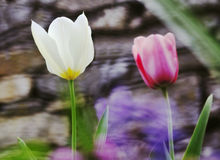 Tulips spring mood Royalty Free Stock Photography