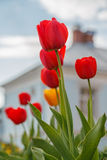 Tulips, spring mood. Stock Images