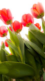 Tulips in spring in the Netherlands. Stock Photography