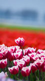 Tulips in spring in the Netherlands. Stock Images