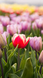 Tulips in spring in the Netherlands. Royalty Free Stock Images