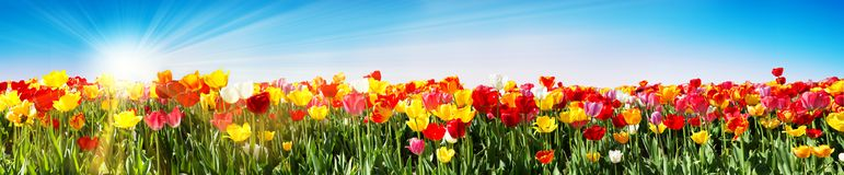 Tulips In Spring - Panoramic Tulip Field - Different Varieties stock photo