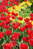 Tulips in a spring park Royalty Free Stock Photos