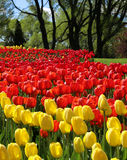 Tulips in spring park Royalty Free Stock Image