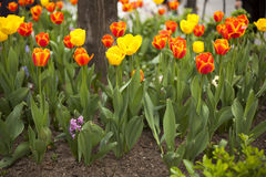 Tulips in spring. Tulips in park, spring seasonal flowers stock images