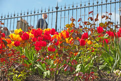 Tulips in Spring in Princes Street Gardens, Edinburgh Royalty Free Stock Photos