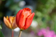 Tulips, Spring, Red, Garden, Macro Stock Images