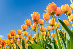 Tulips in spring sun. Royalty Free Stock Images