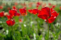 Tulips in spring sun Stock Photography