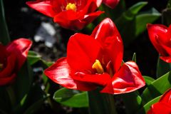 Tulips in Spring Time stock photo