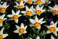 Tulips in Spring Time royalty free stock images