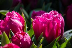 Tulips in Spring Time stock image