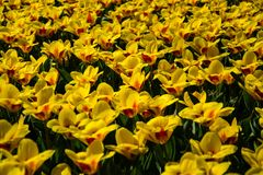 Tulips in Spring Time royalty free stock photos