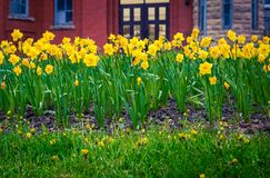 Tulips in St John`s Newfoundland royalty free stock images