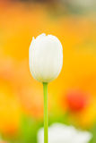 Tulips in spring time Royalty Free Stock Photography