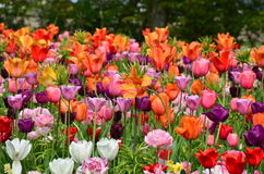 Tulips in spring under the bright sun in the garden of Keukenhof-Lisse, Holland Royalty Free Stock Images