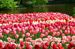 Tulips in spring under the bright sun in the garden of Keukenhof-Lisse, Netherlands Royalty Free Stock Images