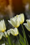 Tulips in springtime Royalty Free Stock Photos