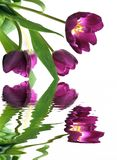 Tulips in the springtime. Several fragrant and fresh tulips over a white background and reflected in calm waters Stock Photo