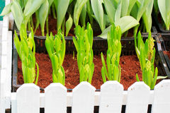 Tulips sprout Stock Image