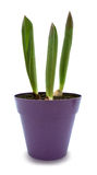 Tulips sprouts in purple pot isolated with clipping path. Three young tulip sprouts in purple pot, isolated over white with clipping path Royalty Free Stock Images