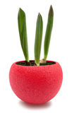 Tulips sprouts in red round pot isolated with clipping path. Three young tulip sprouts in red round pot, isolated over white with clipping path Royalty Free Stock Image