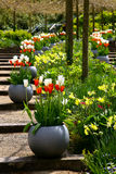 Tulips on stairs in the garden. Tulips in the pot. Stock Photo