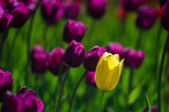 Tulips stands out Royalty Free Stock Photos