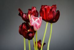 Tulips still life Stock Photo
