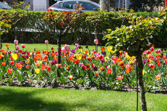 Tulips in the street Stock Image